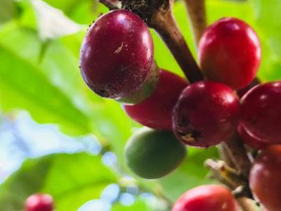 Cosecha-de-café-en-Nicaragua
