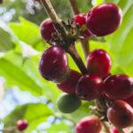 Crisis económica y altos costos de insumos seguirán afectando la producción de café
