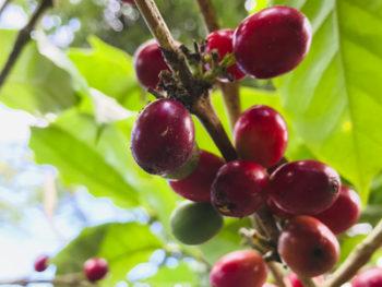 Producción-de-café-Nicaragua-2021