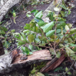 Más agricultores reportan daños en sus fincas por lluvias de huracanes