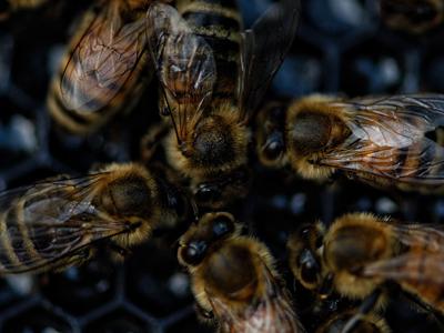 Enjambres-de-abejas-en-Matagalpa