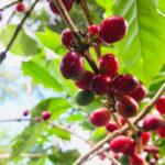 Sector cafetalero se dispone a sacar tres millones de quintales de café oro